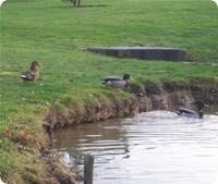 Ducks at retreat